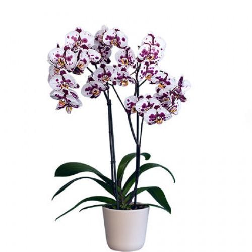 Купить на заказ Орхидея микс. с доставкой в Нур-Султане