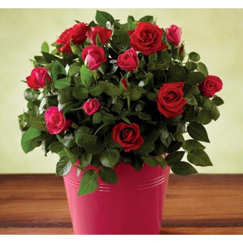 Купить на заказ Роза комнатная с доставкой в Нур-Султане